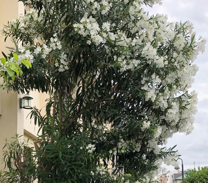 2 白い夾竹桃