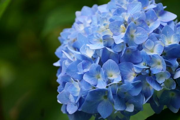 薬師池公園の花しょうぶアジサイ00078778