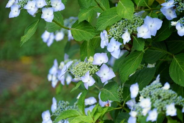 薬師池公園の花しょうぶアジサイ00078772