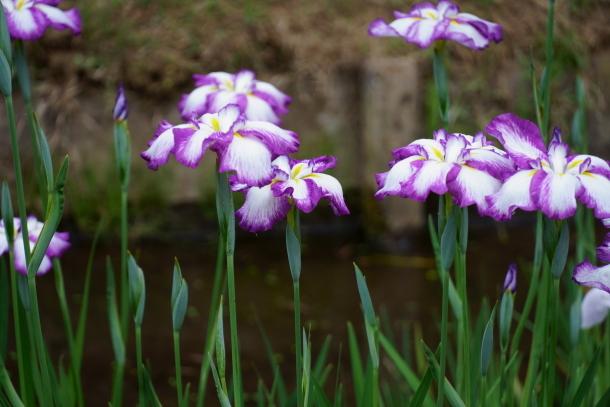 薬師池公園の花しょうぶアジサイ00078793