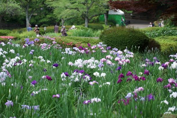 薬師池公園の花しょうぶアジサイ00078810