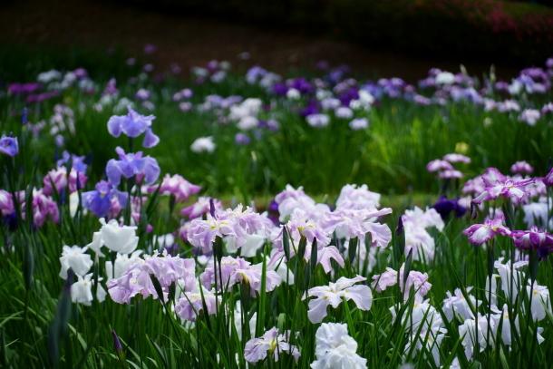 薬師池公園の花しょうぶアジサイ00078811