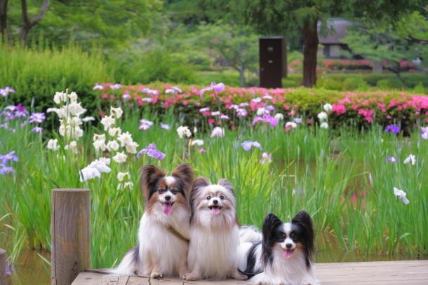 薬師池公園の花しょうぶアジサイ00078814