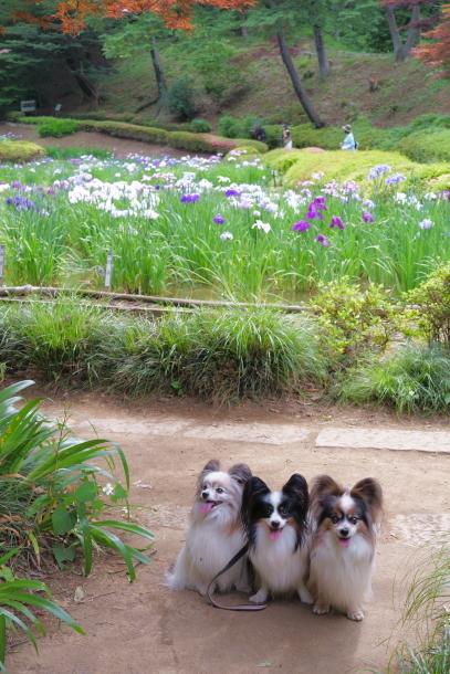 薬師池公園の花しょうぶアジサイ00078821