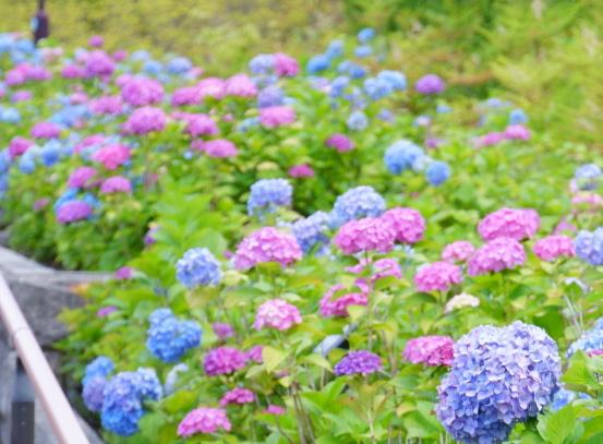 二子玉川公園アジサイ ふるさと公園00077745