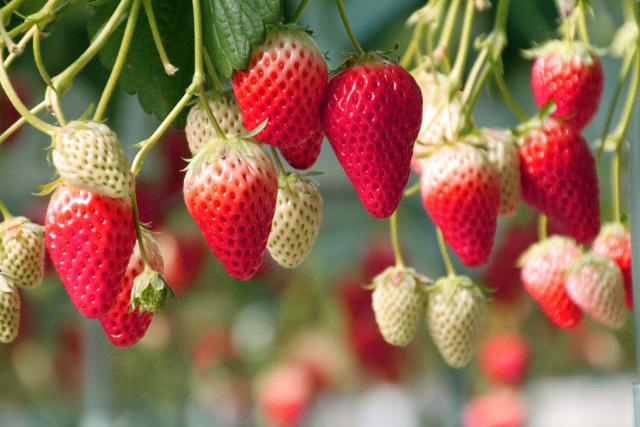 苺の季節#2