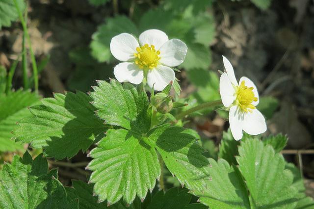 エゾヘビイチゴ(花)