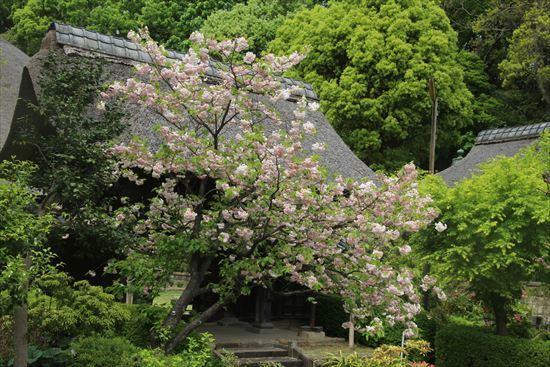 八重桜c2