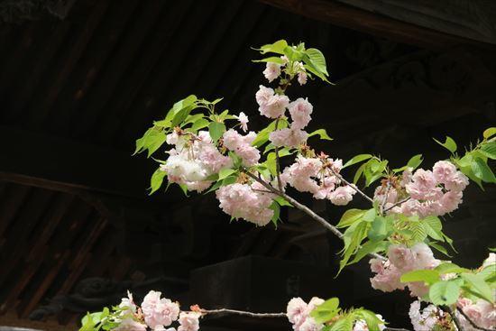 八重桜c1