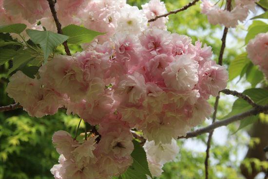 八重桜 c