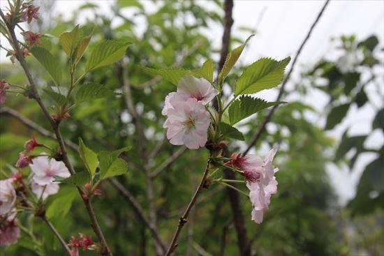 御殿場桜1