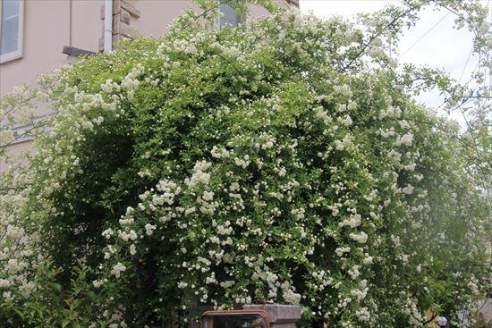 白木香薔薇3