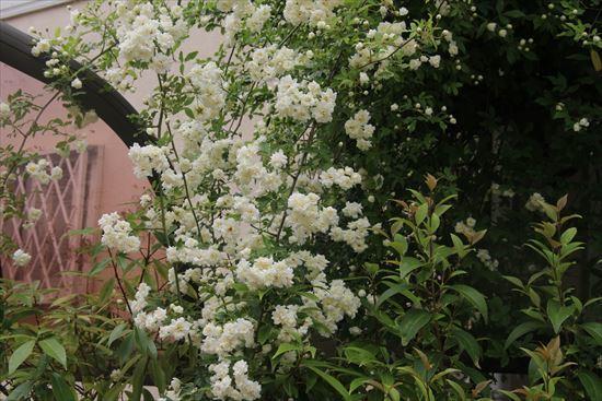 白木香薔薇2