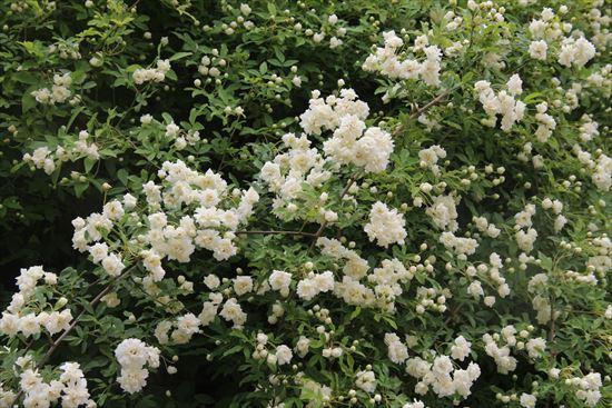 白木香薔薇1