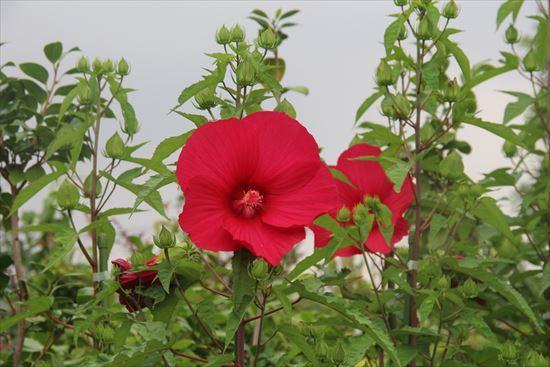 タイタンビカス 赤