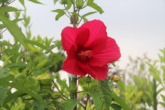 タイタンビカス 赤1