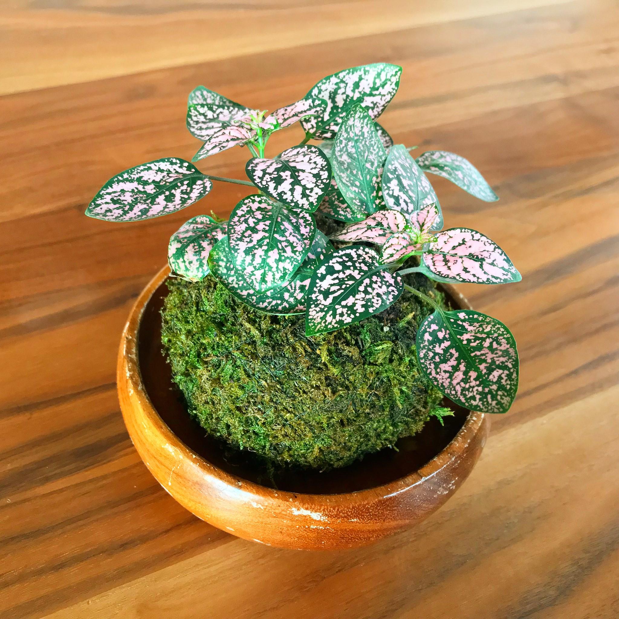 苔玉×ヒポエスティス