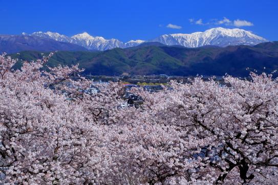 白銀の仙丈ヶ岳と東駒ヶ岳を彩る桜の森