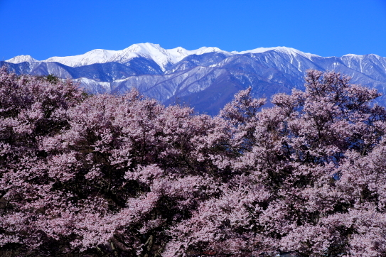 桜の森と白銀の中央アルプス