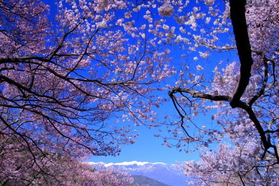 高遠城址公園の桜と西駒ヶ岳