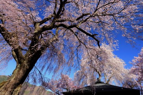 勝間薬師堂のシダレ桜