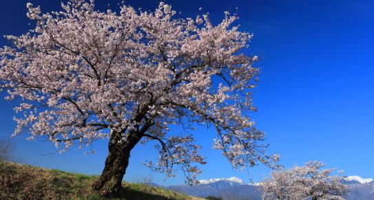青島の桜並木と西駒ヶ岳
