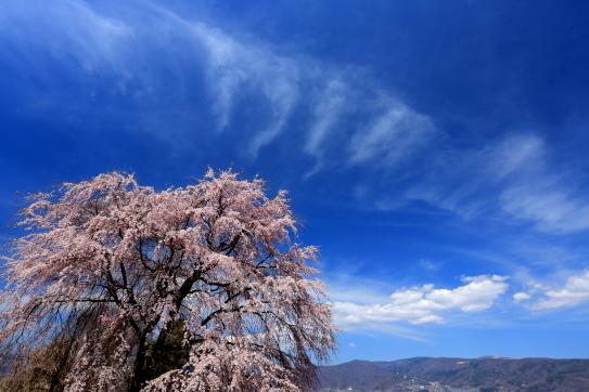 諏訪市龍雲寺のシダレ桜