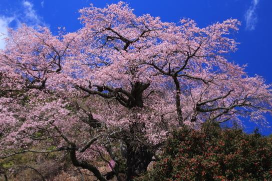 銘木1本桜の樹齢650年ベニシダレ