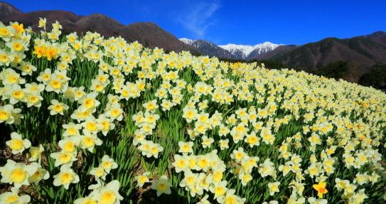 スイセンの花畑と宝剣岳