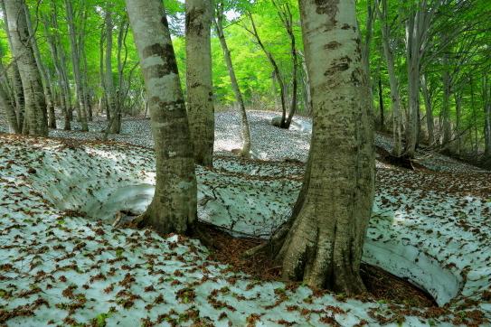 29-残雪に芽吹く橅の森