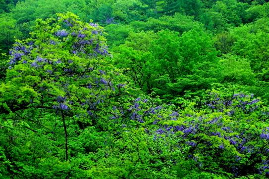 28-若葉の森に競い咲く藤の花