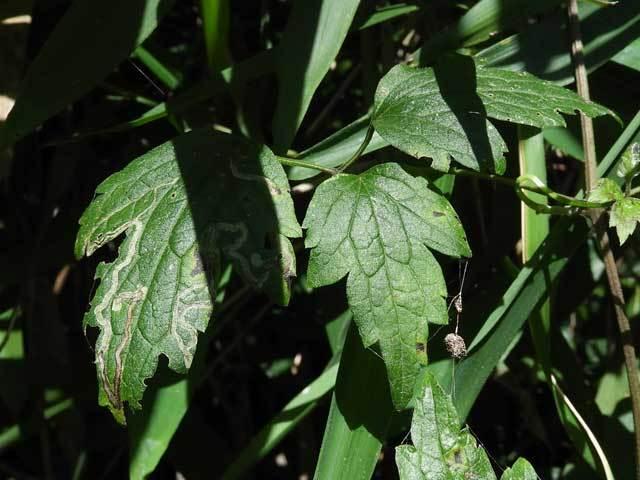 ボタンヅルの葉