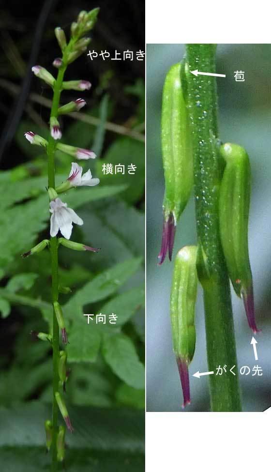 ハエドクソウ花と実