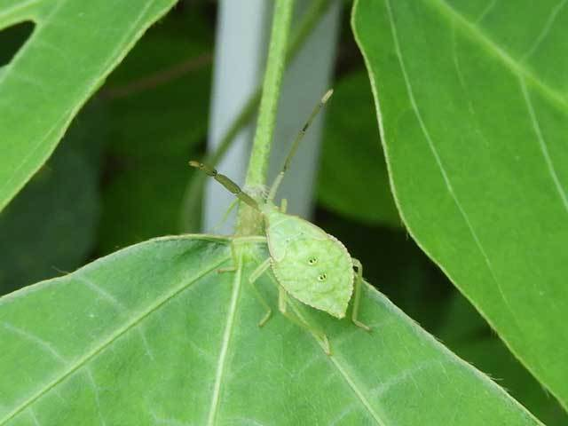 ハラビロヘリカメムシ幼虫