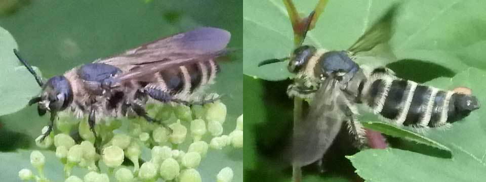 ハラナガツチバチ?