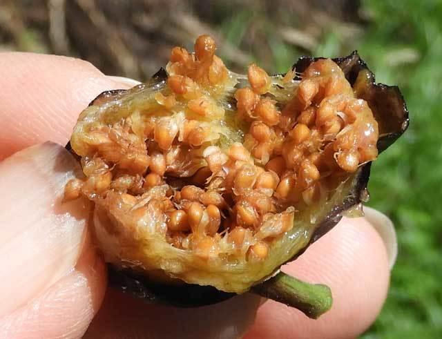 イヌビワの果嚢と果実(種)