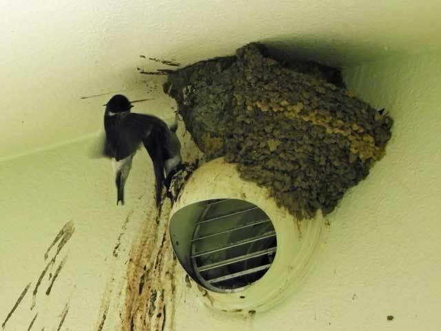 イワツバメの巣A