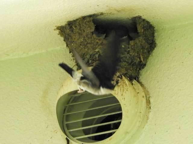 イワツバメの巣B