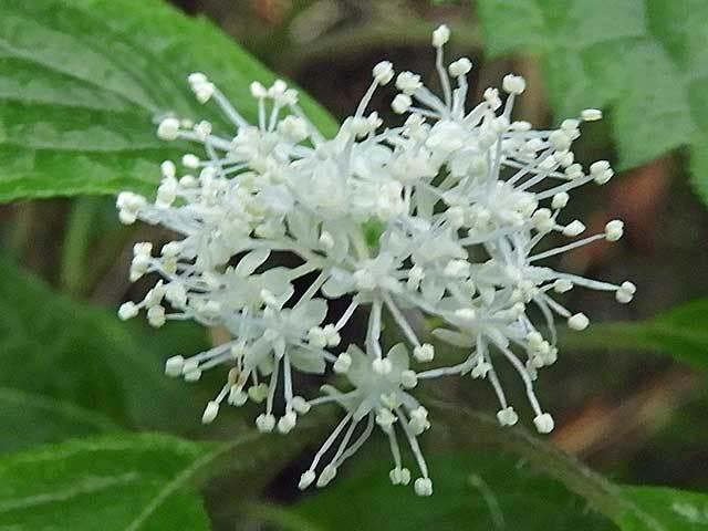 コアジサイ花