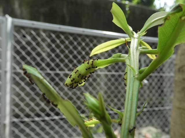 ムラサキツバメ幼虫