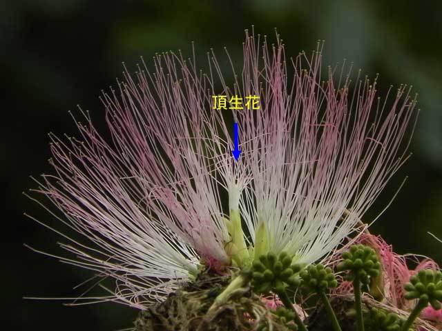 ネムノキの花雄性期
