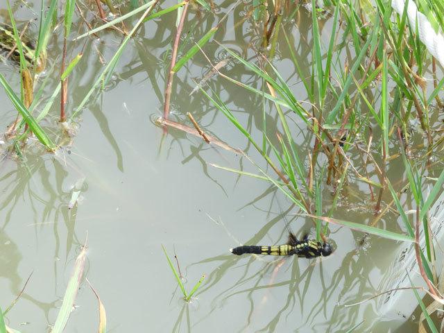 オオシオカラトンボに忍び寄るトノサマガエル