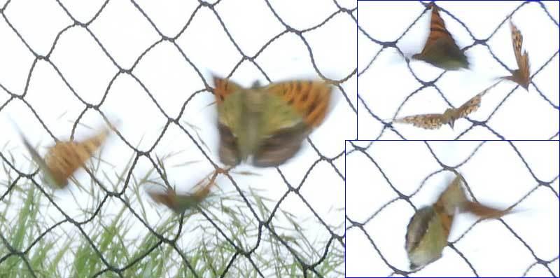 ヒョウモンチョウ類3頭の絡み