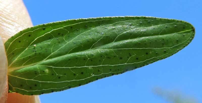 オトギリソウの葉