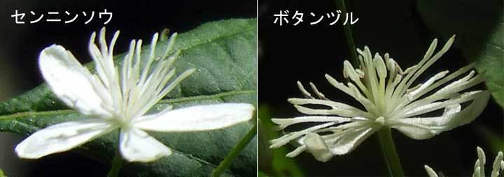 センニンソウとボタンヅル花の比較