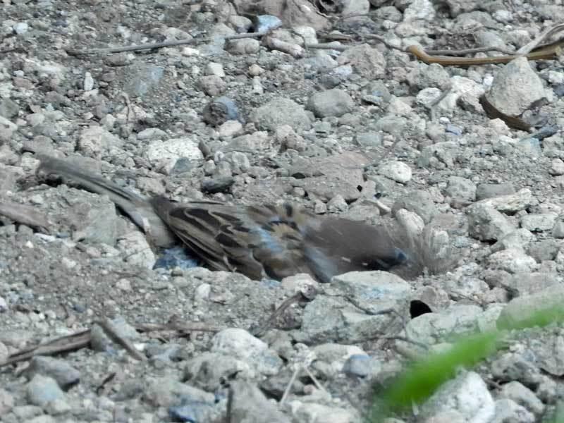 スズメの砂浴び