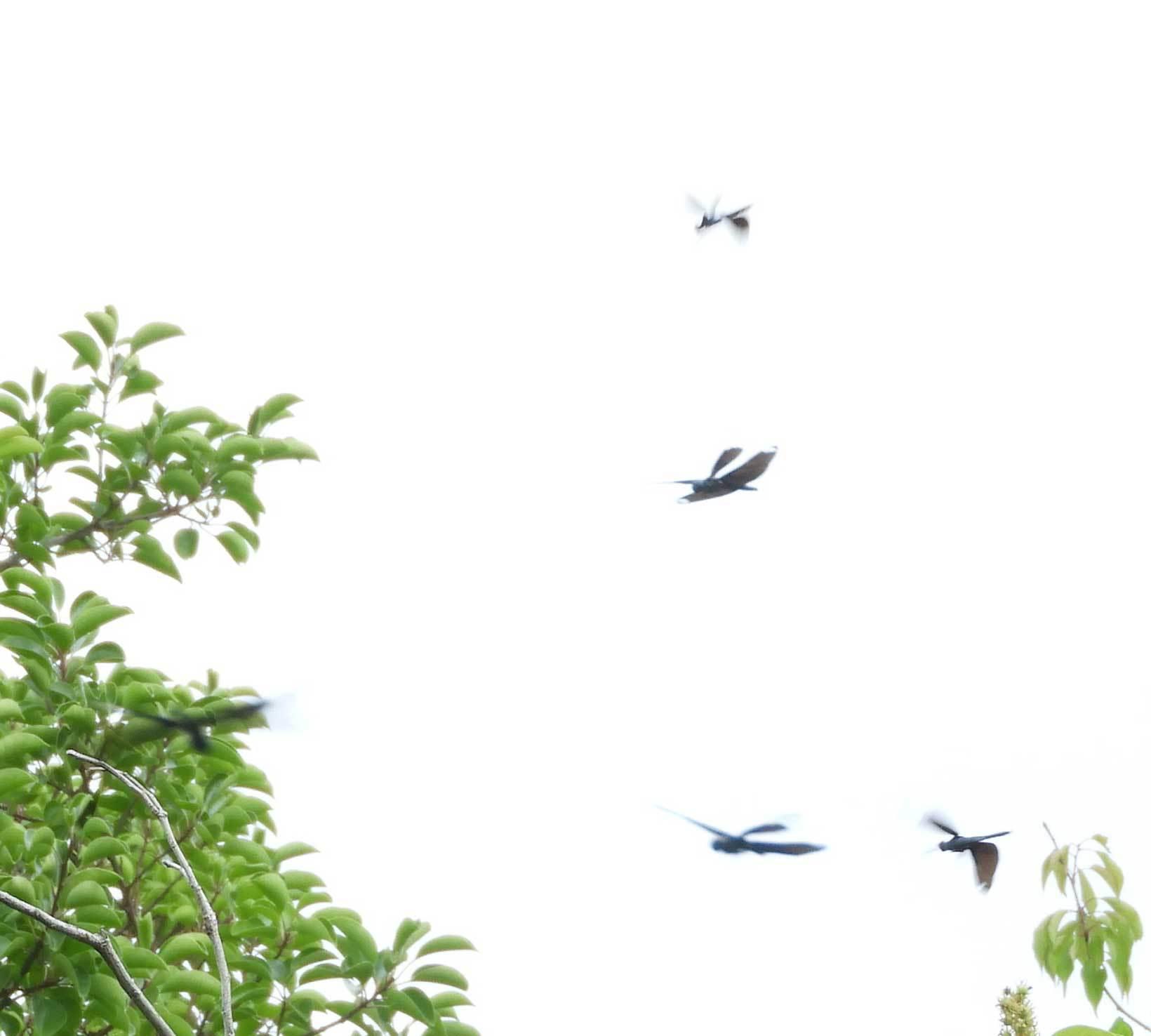 チョウトンボ飛翔