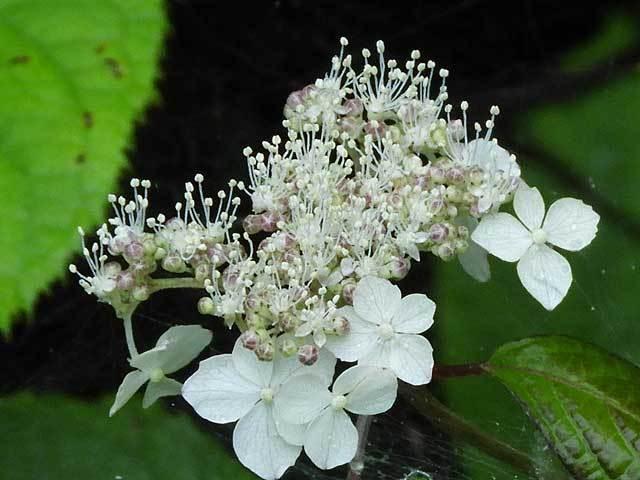 ヤマアジサイ花