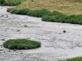 カワウのいる川