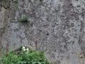 崖の山百合